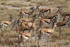 Springboks en parc d'Etosha en Namibie Photos libres de droits