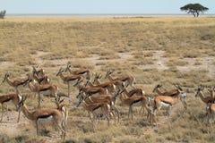 Springboks en parc d'Etosha en Namibie Images stock
