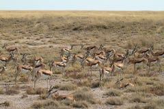 Springboks en parc d'Etosha en Namibie Photographie stock