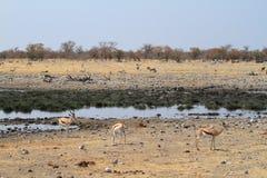 Springboks en parc d'Etosha en Namibie Images libres de droits
