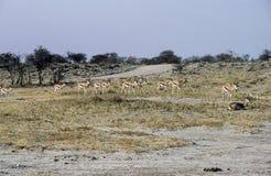 Springboks en parc national d'Etosha, Namibie Photographie stock libre de droits