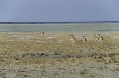 Springboks en parc national d'Etosha, Namibie Photo libre de droits