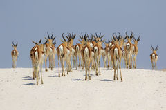 Springboks at etosha national park. Namibia Stock Images