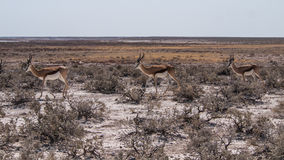 Springboks. In Etosha National Park, Namibia Royalty Free Stock Photography