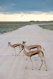 Springboks. In the Etosha national park in Namibia Royalty Free Stock Photos