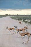 Springboks. In the Etosha national park in Namibia Stock Images