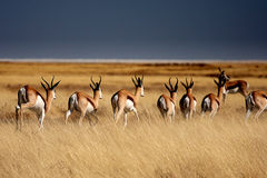 Springboks in Etosha Park Royalty Free Stock Photo