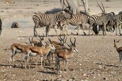 Springboks in Etosha Park in Namibia Royalty Free Stock Images