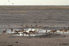 Springboks in Etosha Park in Namibia Royalty Free Stock Image