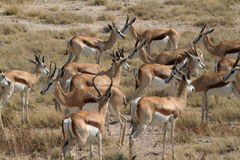 Springboks in Etosha Park in Namibia. In Africa Royalty Free Stock Photos