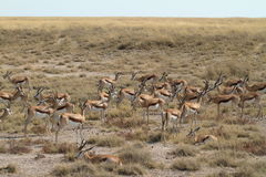 Springboks in Etosha Park in Namibia. In Africa Stock Photography
