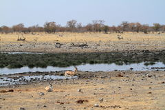 Springboks in Etosha Park in Namibia. In Africa Royalty Free Stock Images