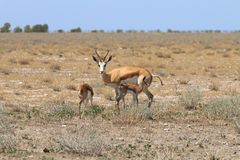 Springboks family. Springboks from Etosha National Park, Namibia Stock Images