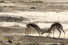 Springboks fighting Royalty Free Stock Image