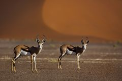 Springboks in front of red desert dunes Royalty Free Stock Photo