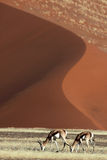 Springboks in front of red desert dunes Royalty Free Stock Image