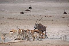 Springboks, gemsboks, et autruches au point d'eau Photographie stock