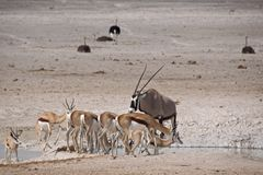 Springboks, gemsboks, and ostriches at waterhole. Springboks, gemsboks, and ostriches all gather near the waterhole in Etosha National Park, Namibia Stock Photography