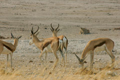Springboks, hunted by a lion Stock Images