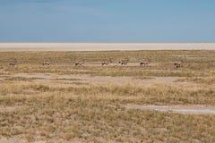 Springboks marchant par la savane du parc national d'Etosha, Namibie Photo libre de droits