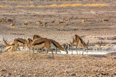 Springboks at pool. Herd of springboks in water pool in Namibian savannah of Etosha National Park, Namibia, Africa Stock Photo