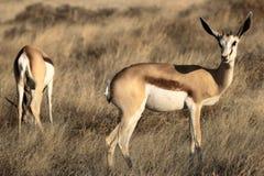 Springboks portraits. Springboks in Sossusvlei desert Namibia Royalty Free Stock Image