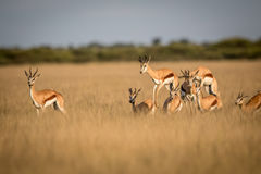 Springboks pronking in the Central Kalahari. Springboks pronking in the Central Kalahari Game Reserve, Botswana Royalty Free Stock Photos