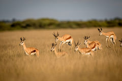 Springboks pronking in the Central Kalahari. Springboks pronking in the Central Kalahari Game Reserve, Botswana Stock Photography