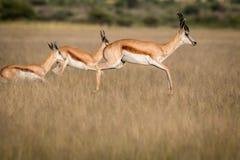 Springboks pronking dans le Kalahari central Photo libre de droits