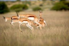 Springboks pronking dans le Kalahari central Photographie stock