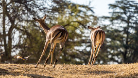 Springboks on the run. A shot of two Springboks as they are running away taken at Pilanesberg National Park in South Africa Stock Photos