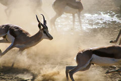 Springboks running Stock Photo