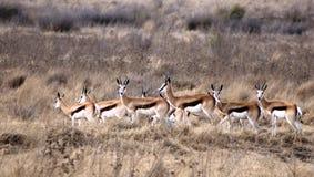 Springboks Royalty Free Stock Photo