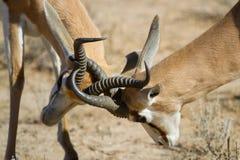 Springboks Sparring Images stock