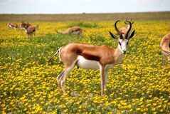 Springboks stood in flowery meadow stock photo