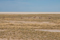 Gemsboks Walking through Savannah of Etosha National Park, Namibia Royalty Free Stock Photo