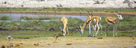 Springboks at a waterhole in Etosha National Park. Four Springboks relaxclose to a waterhole in Etosha National Park, Namibia Royalty Free Stock Image