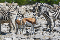 Springboks and zebras. Zebras and Springboks in the hot sun near a waterhole in the Etosha National Park in Namibia Royalty Free Stock Image