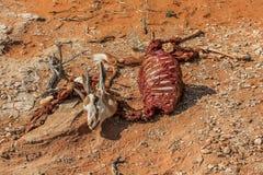 Springbot esquelético muerto en el desierto Imágenes de archivo libres de regalías