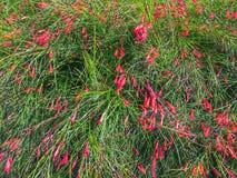 Springbrunnväxt Royaltyfria Bilder