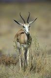 Springbuck ή αντιδορκάδα, marsupialis Antidorcas Στοκ Φωτογραφίες