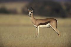 Springbuck ή αντιδορκάδα, marsupialis Antidorcas Στοκ φωτογραφίες με δικαίωμα ελεύθερης χρήσης