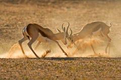 springbuck бой Стоковое Изображение RF