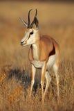 springbuck женского светлого утра мягкий Стоковое фото RF