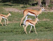 Springbuck - животные мамы от Африки Стоковые Изображения