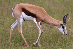 Springbuck Royalty Free Stock Photo