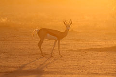 Springbuck. In the kalahari desert Stock Images