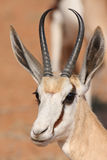 Springbuck. In the kalahari south africa Stock Images