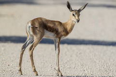 Springbuck Royalty Free Stock Photos
