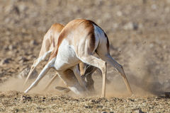 Springbuck Stock Photos